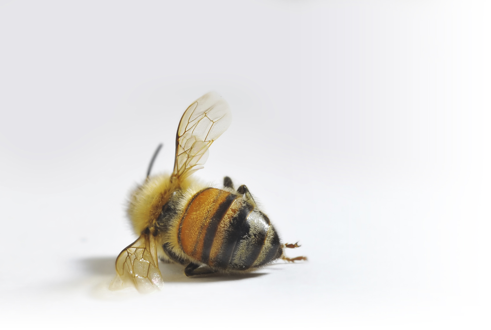 The Curious Case of the Disappearing Honey Bee